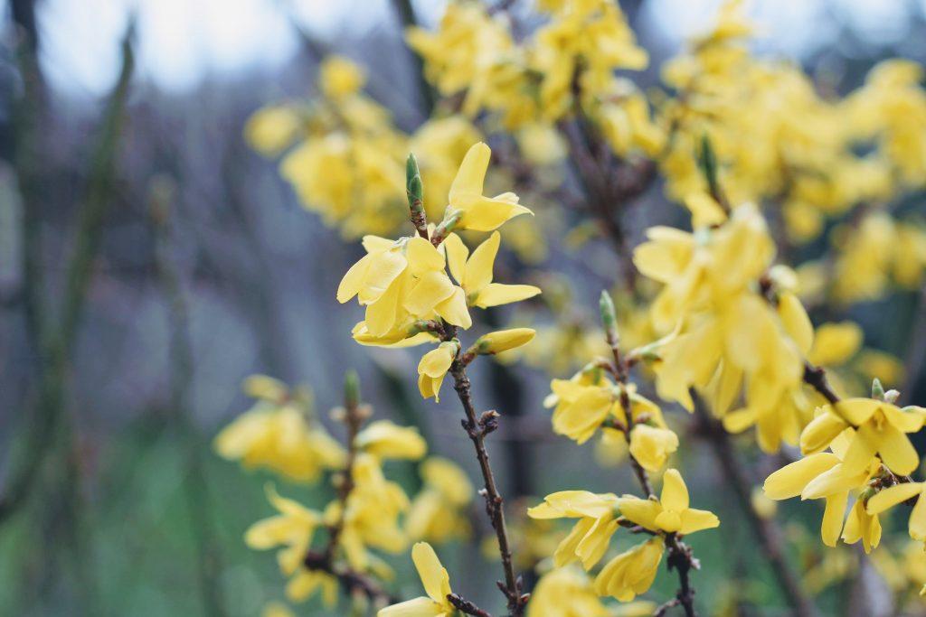 Forsycja, kwitnący krzew forsycji